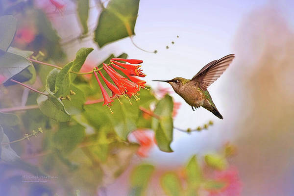 Wall Art - Photograph - Humming Bird And Honeysuckle by Mike and Barb Harthan