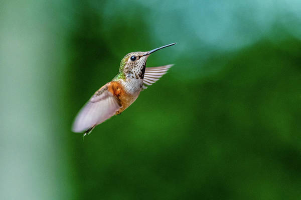 In Flight Photograph - Humming Bird by Ian Stotesbury