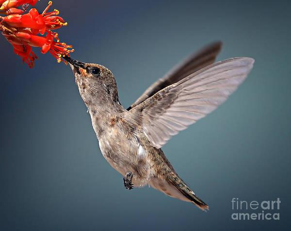 Flight Wall Art - Photograph - Humming Bird In Flight by Quest786