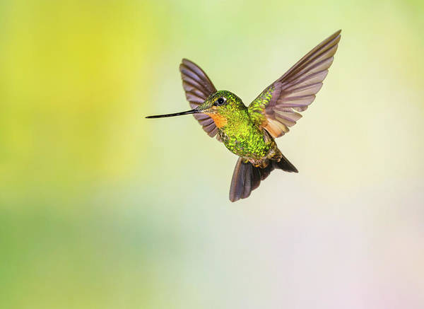 Vertebrate Photograph - Hummingbird , Buff-winged Starfrontlet by Kencanning