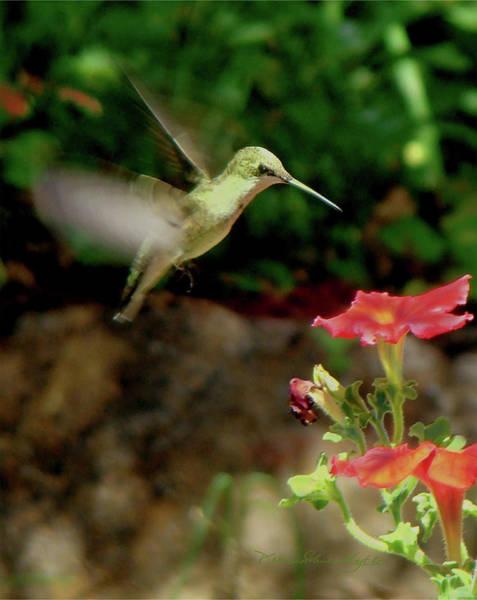 Hummingbird 1 Art Print