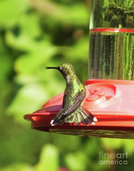 Photograph - Hummingbird 106 by Lizi Beard-Ward