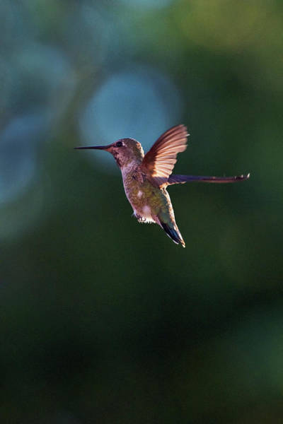 Photograph - Hummingbird #3 by David Lunde