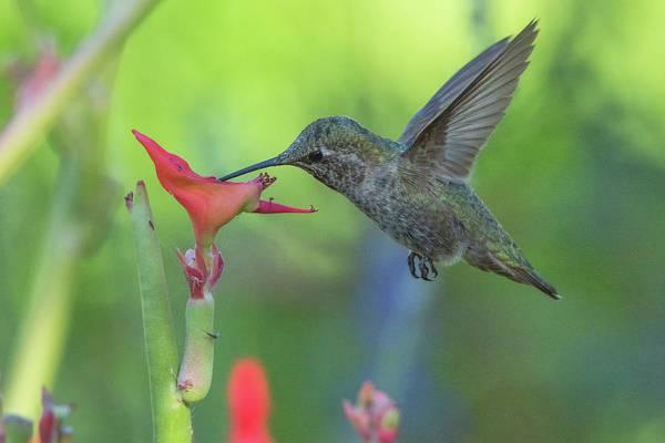 Photograph - Hummingbird 3512-052919 by Tam Ryan
