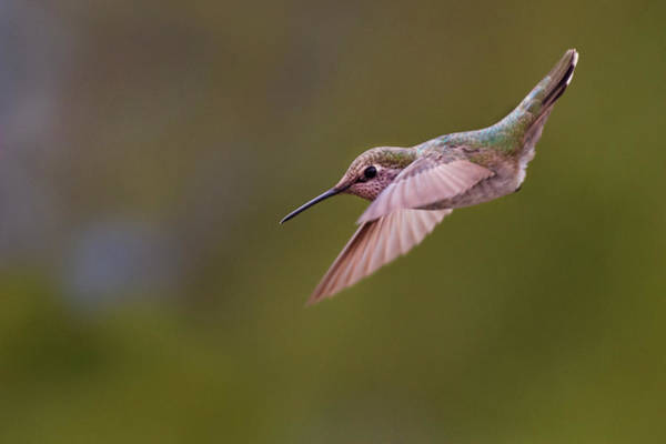 Photograph - Hummingbird #5 by David Lunde