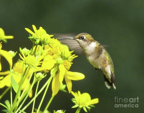 Photograph - Hummingbird 74 by Lizi Beard-Ward