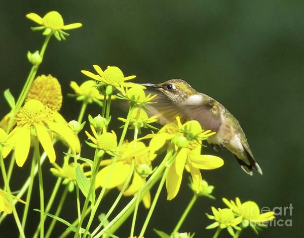 Photograph - Hummingbird 75 by Lizi Beard-Ward