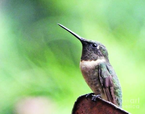 Photograph - Hummingbird 90 by Lizi Beard-Ward