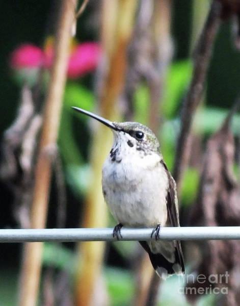 Photograph - Hummingbird 92 by Lizi Beard-Ward