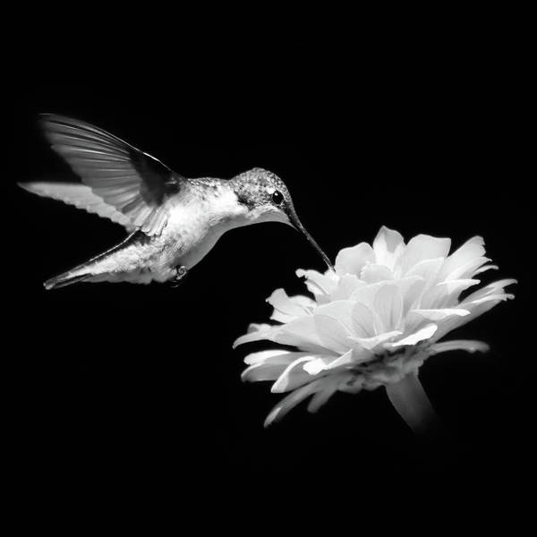Wall Art - Photograph - Hummingbird And Flower Black And White by Christina Rollo
