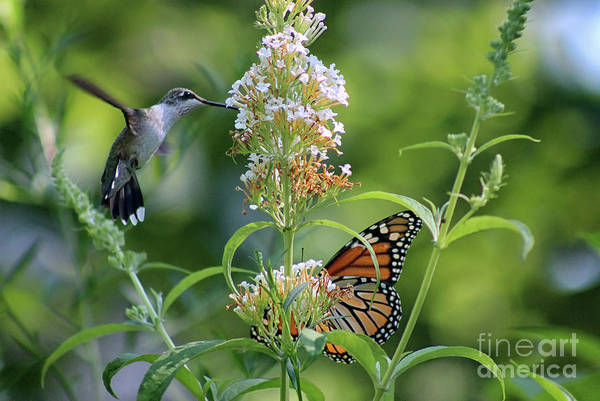 Photograph - Hummingbird And Monarch by Karen Adams