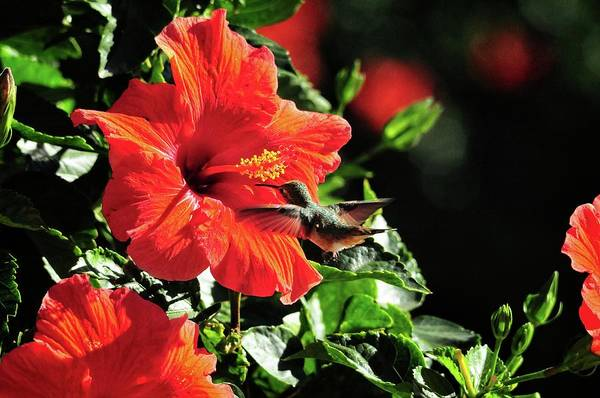 Photograph - Hummingbird And Red Hibiscus In The Garden 2 by Lynn Bauer