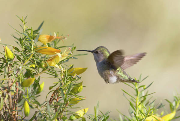 Wall Art - Photograph - Hummingbird And Yellow Flowers by Ruth Jolly