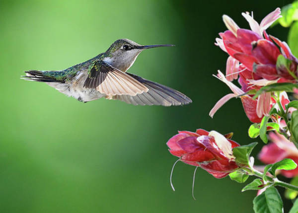 Photograph - Hummingbird Arrives At Flower by William Jobes