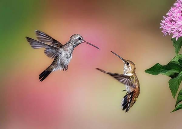 Photograph - Hummingbird Battle by Scott Bourne
