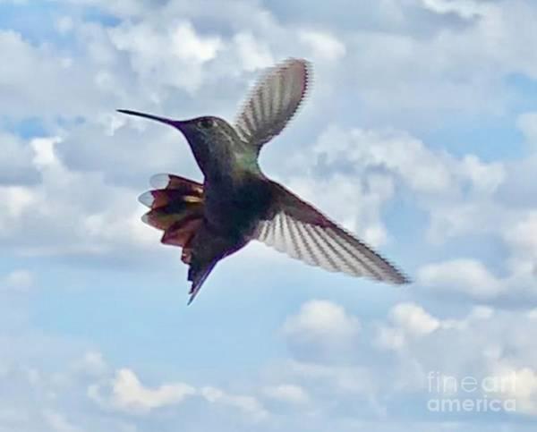 Wall Art - Photograph - Hummingbird Beauty  by Lisa Quenon