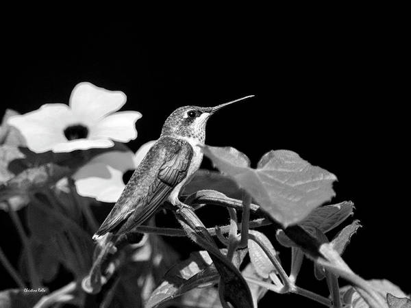 Photograph - Hummingbird Black And White by Christina Rollo