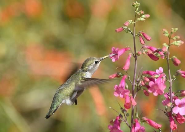 Photograph - Hummingbird Buffet 2 by Fraida Gutovich
