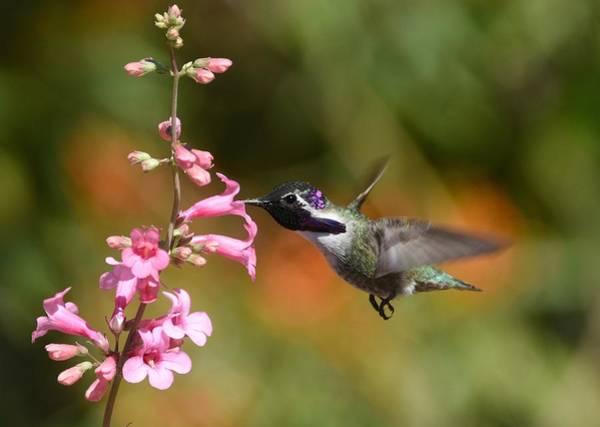 Photograph - Hummingbird Buffet 3 by Fraida Gutovich