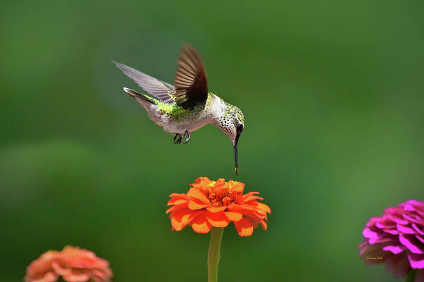 Photograph - Hummingbird Bullseye by Christina Rollo