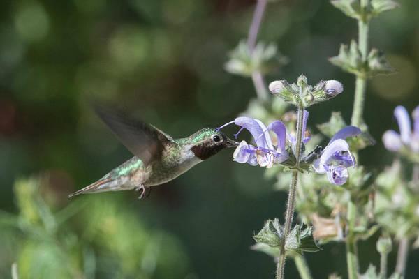Wall Art - Photograph - Hummingbird  by Catherine Lau