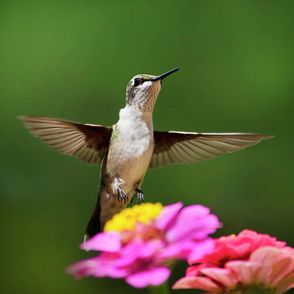Hummingbird Wings Photograph - Hummingbird by Christina Rollo