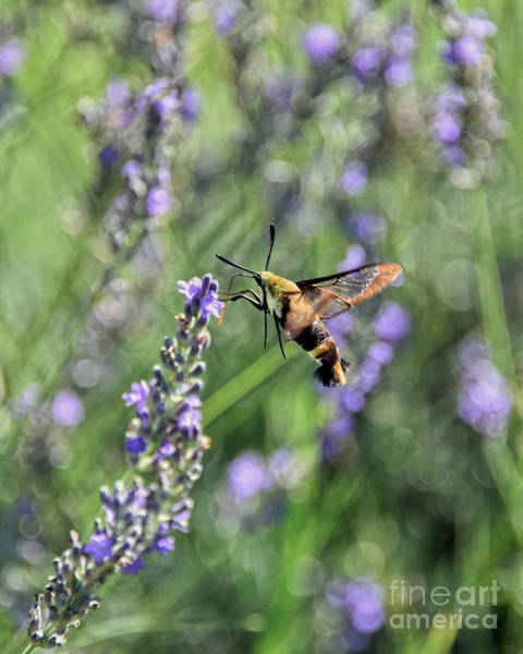 Wall Art - Photograph - Hummingbird Clearwing Moth In Lavender Field by Catherine Sherman