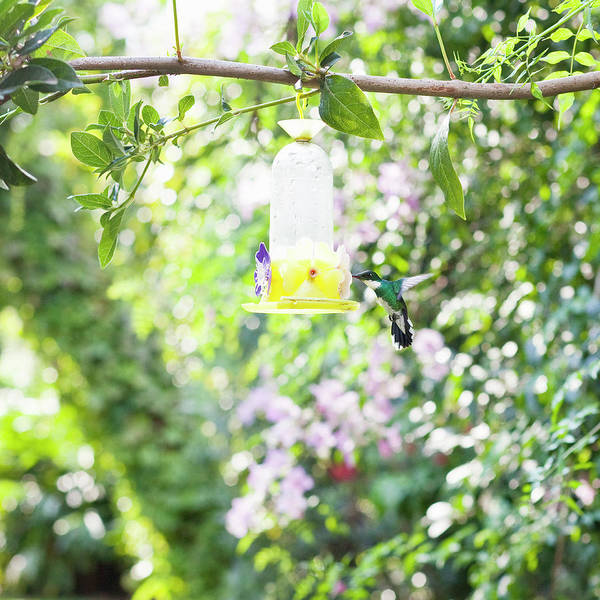 Feeder Photograph - Hummingbird Drinking From Water by Kathrin Ziegler