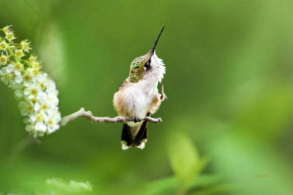 Beautiful Hummingbird Photograph - Hummingbird Flexibility by Christina Rollo