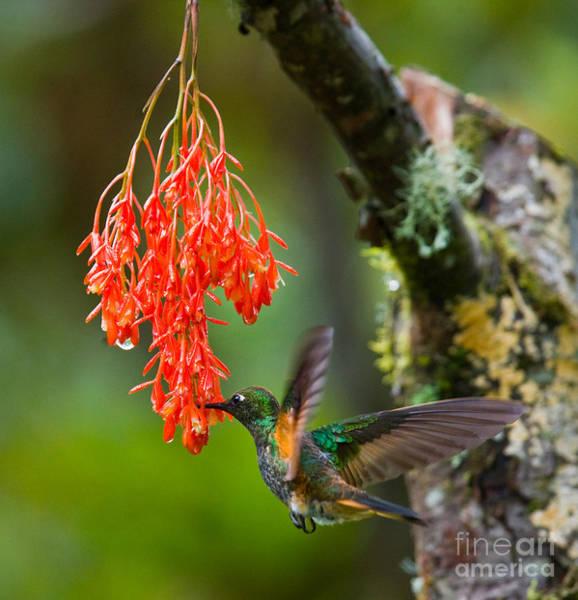Hummingbird Flies To Flower. Ecuador Art Print