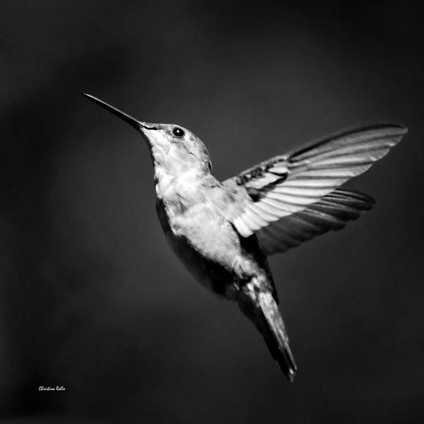 Beautiful Hummingbird Photograph - Hummingbird Flight Bw Square by Christina Rollo