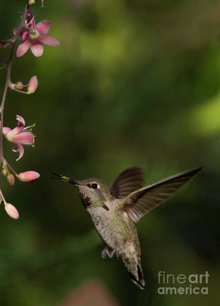 Wall Art - Photograph - Hummingbird Flying In For Breakfast by Ruth Jolly