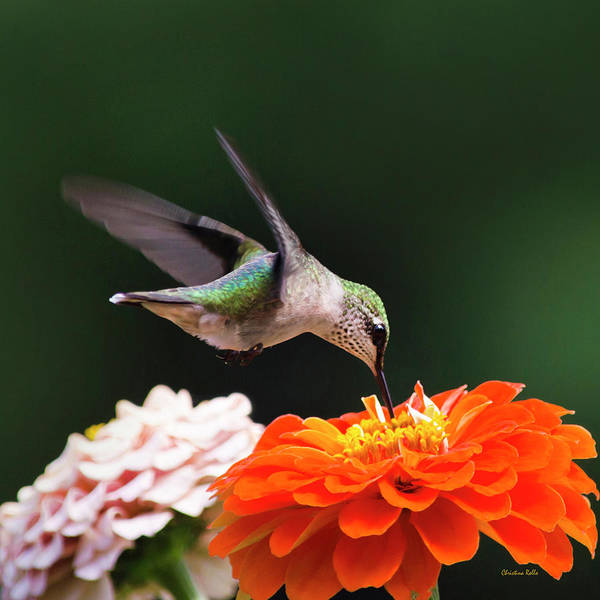 Photograph - Hummingbird Flying With Orange Zinnia Flower Square by Christina Rollo