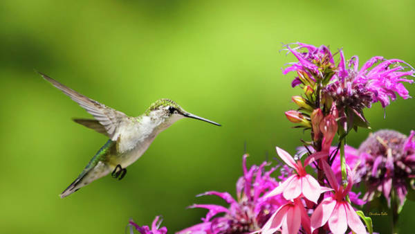 Wall Art - Photograph - Hummingbird Garden Glory by Christina Rollo
