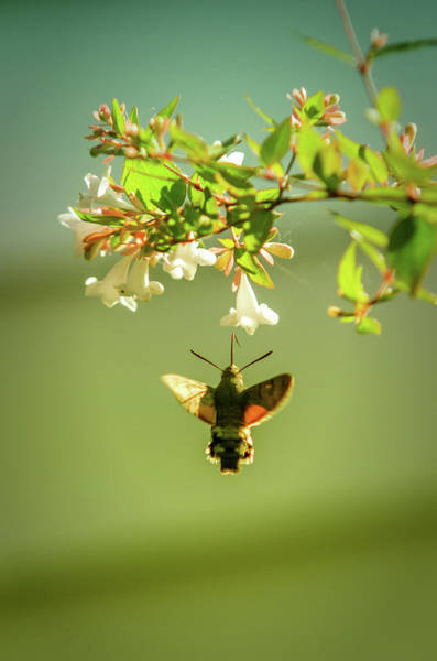 Beautiful Hummingbird Photograph - Hummingbird Hawk-moth by Carlos Caetano