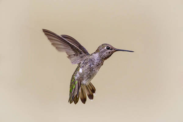 Photograph - Hummingbird Hover by Wes and Dotty Weber