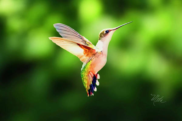 Photograph - Hummingbird Hovering by Meta Gatschenberger