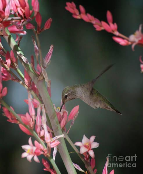 Wall Art - Photograph - Hummingbird Hovers  by Ruth Jolly