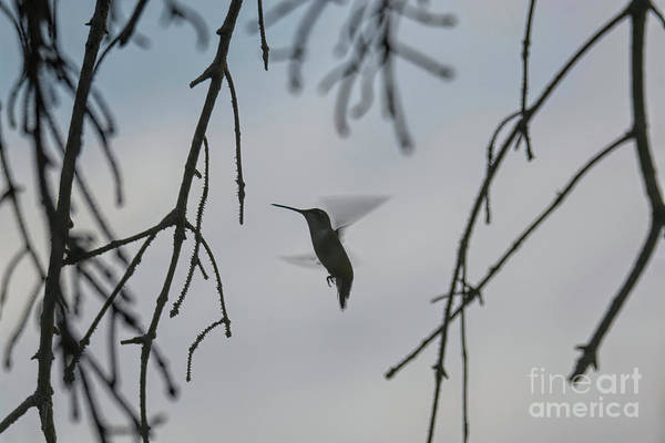 Photograph - Hummingbird In Action by Randy J Heath