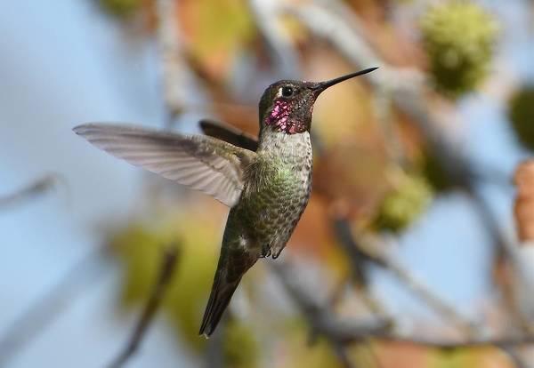 Photograph - Hummingbird In Autumn by Fraida Gutovich