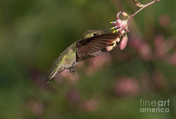 Wall Art - Photograph - Hummingbird In June by Ruth Jolly