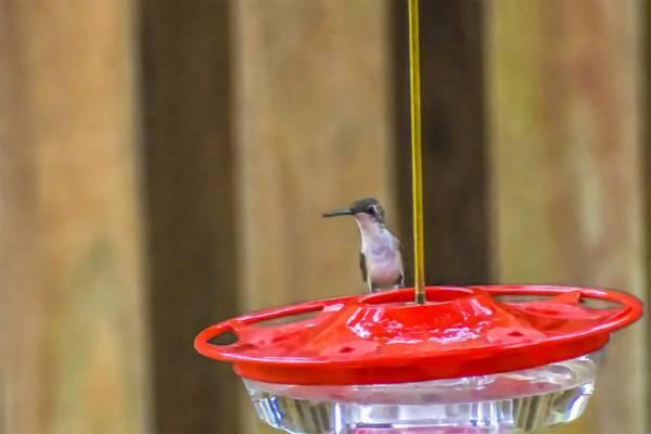 Photograph - Hummingbird by Jeremy Guerin