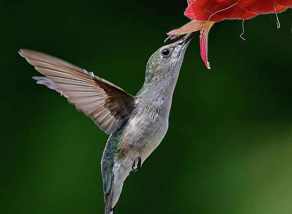 Photograph - Hummingbird Kisses Flower by William Jobes