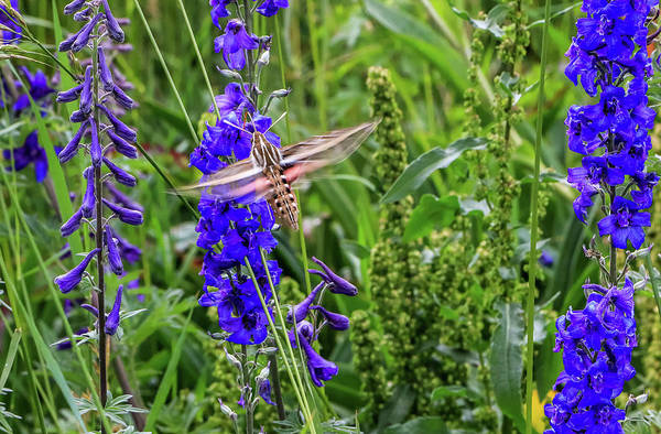 Photograph - Hummingbird Moth And Larkspur by Dawn Richards