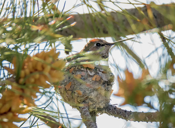 Photograph - Hummingbird On The Nest by Loree Johnson