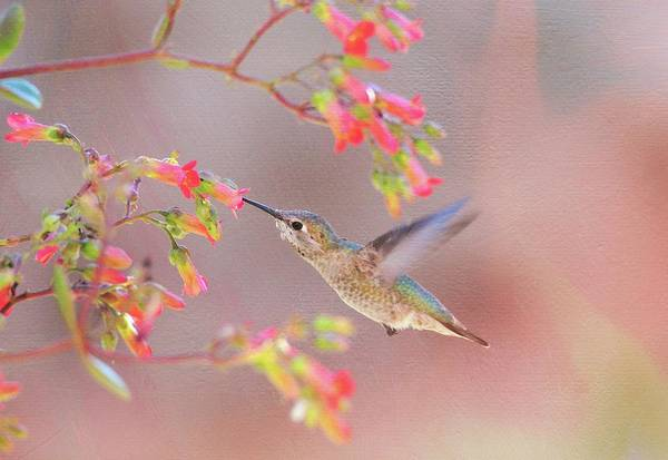 Photograph - Hummingbird Parfait 2 by Lynn Bauer