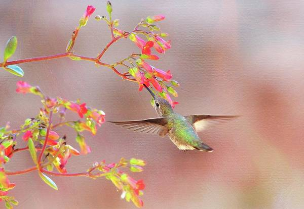 Photograph - Hummingbird Parfait by Lynn Bauer