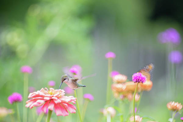 Photograph - Hummingbird Pastels 1 by Brian Hale