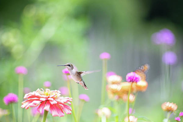 Photograph - Hummingbird Pastels 2 by Brian Hale