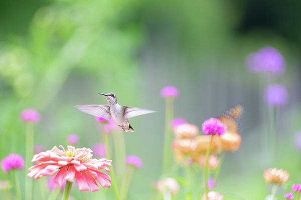 Photograph - Hummingbird Pastels 3 by Brian Hale